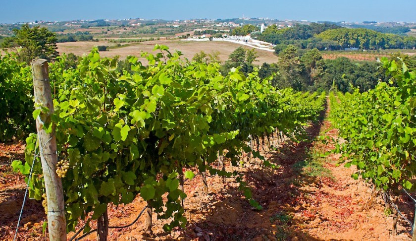 Vineyard on the west coast of Portugal
